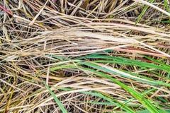Цветки Reed Стоковое Фото