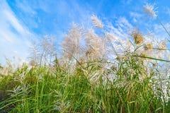 Цветки Reed Стоковое Изображение RF