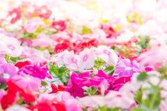 Цветки rosea барвинка стоковая фотография