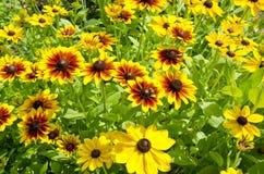 Цветки Rudbeckia черн-eyed в саде фермы стоковая фотография