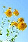 Цветки Rudbeckia Стоковые Изображения