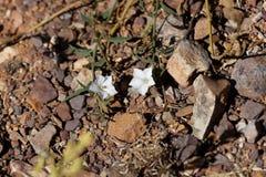 Цветки sagittatus повилики вьюнка Стоковые Фотографии RF