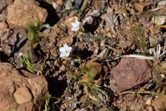 Цветки sagittatus повилики вьюнка Стоковое Фото