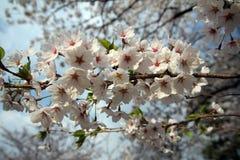 Цветки Sakura Стоковые Изображения RF
