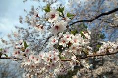 Цветки Sakura Стоковая Фотография