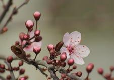 Цветки Sakura Стоковая Фотография RF