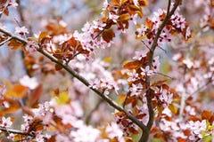 Цветки Sakura Стоковое фото RF