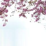 Цветки SalaoBungor, гордость цветок ` s Индии или ферзя стоковая фотография rf