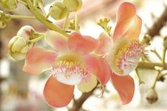 Цветки Salavan, Стоковые Фото