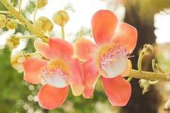 Цветки Salavan, Стоковое фото RF