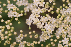 Цветки Sambuco Стоковая Фотография RF