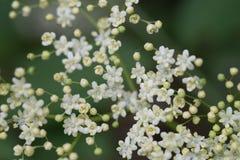 Цветки Sambuco Стоковое Изображение RF
