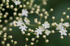 Цветки Sambuco Стоковые Изображения RF