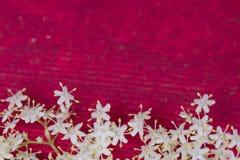 Цветки Sambuco Стоковая Фотография