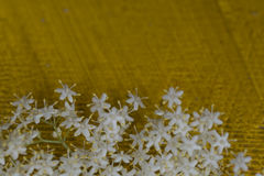Цветки Sambuco Стоковые Фотографии RF