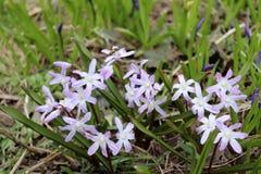 Цветки Scilla зацветая в апреле Яркий цветок весны крупного плана в саде весны, макроса Scilla снял с Стоковые Фотографии RF