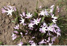 Цветки Scilla зацветая в апреле Яркий цветок весны крупного плана в саде весны, макроса Scilla снял с Стоковое фото RF