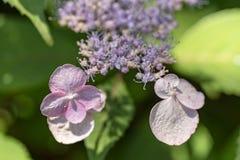 Цветки serrata гортензии стоковая фотография
