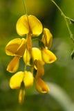 Цветки Sesbania Стоковые Фотографии RF