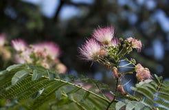 Цветки Silk дерева Стоковые Фото