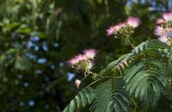 Цветки Silk дерева Стоковое Фото