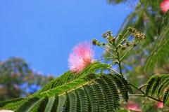 Цветки silktree Стоковое Изображение