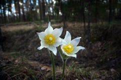 Цветки Snowdrop в лесе Стоковые Изображения