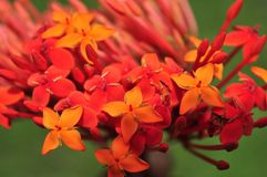 Цветки soka Ixora coccinea/ стоковые фотографии rf