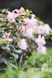 Цветки Southgate Fuchsia гибридные Стоковая Фотография