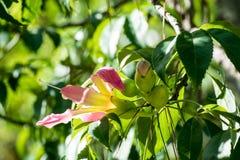 Цветки Speciosa Ceiba в ботаническом саде Кальяри, Сардинии стоковое фото