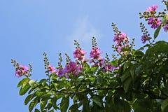 Цветки speciosa Lagerstroemia в Вьетнаме Стоковая Фотография RF