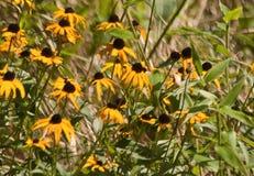 Цветки Susan глаза Брайна в солнце Стоковые Фото