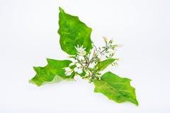 Цветки Sw Torvum Solanum Стоковая Фотография