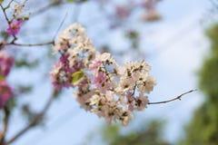 Цветки Tabak Стоковая Фотография RF