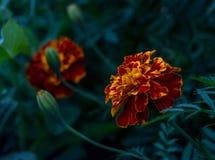 Цветки Tagetes с листьями на темной предпосылке стоковая фотография rf