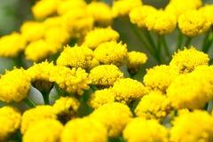 Цветки Tanacetum стоковое изображение