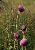 Цветки Thistle в поле Стоковые Изображения RF
