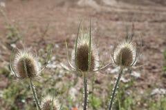 Цветки Thistle Стоковая Фотография