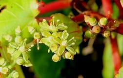 Цветки tricuspidata Parthenocissus, японского creeper, плюща виноградины, японского плюща Стоковые Изображения RF