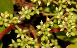 Цветки tricuspidata Parthenocissus, японского creeper, плюща виноградины, японского плюща Стоковое Фото