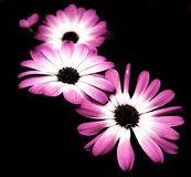 Цветки tripple в черноте Стоковое Изображение RF