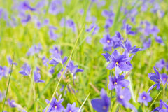 Цветки vaginalis Monochoria фиолетовые зацветая в болоте селективном Стоковая Фотография