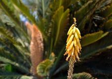 Цветки vera алоэ Стоковое Изображение