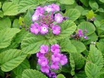 Цветки Vilolet в саде Стоковые Изображения RF