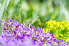 Цветки Violess на зеленой предпосылке Стоковые Фото