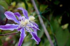 Цветки virgins-bower стоковая фотография rf