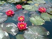 цветки waterlily иллюстрация вектора
