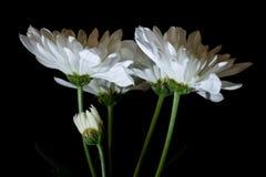 Цветки Whtie Стоковые Фото