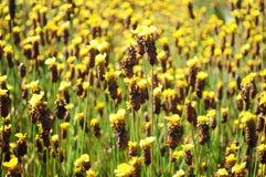 Цветки Xyris желтые или полевой цветок Xyridaceae стоковые изображения rf