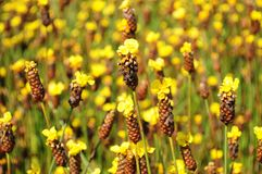 Цветки Xyris желтые или полевой цветок Xyridaceae стоковые фотографии rf